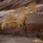 Canyon de Chelly tree
