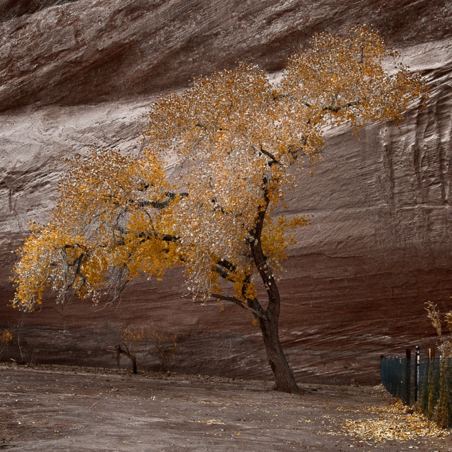 Canyon de Chelly tree